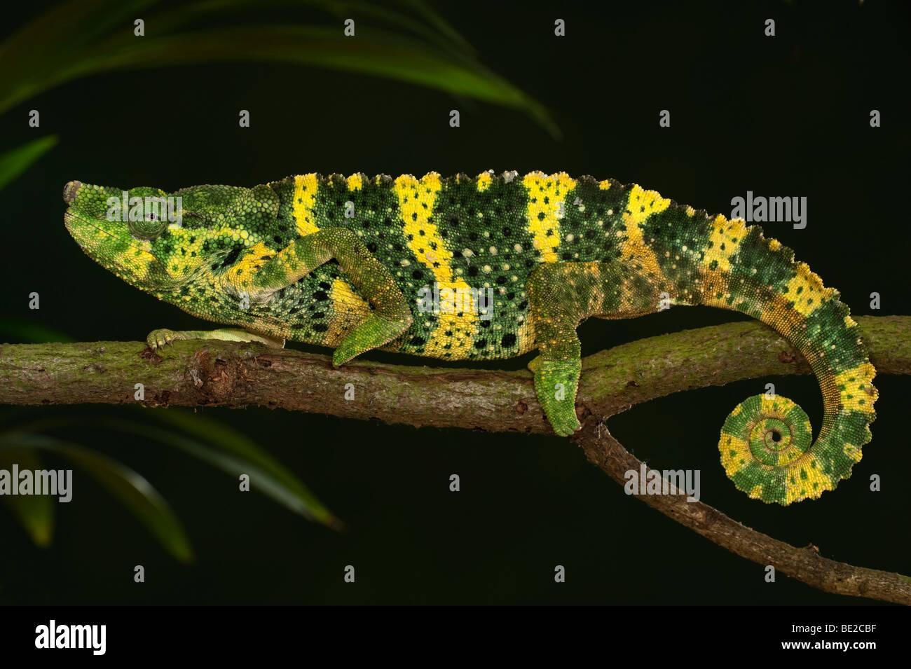 Panther Chamäleon Furcifer Pardalis auf Zweig gelb grün Farben gefangen Haustier zu Fuß Stockbild