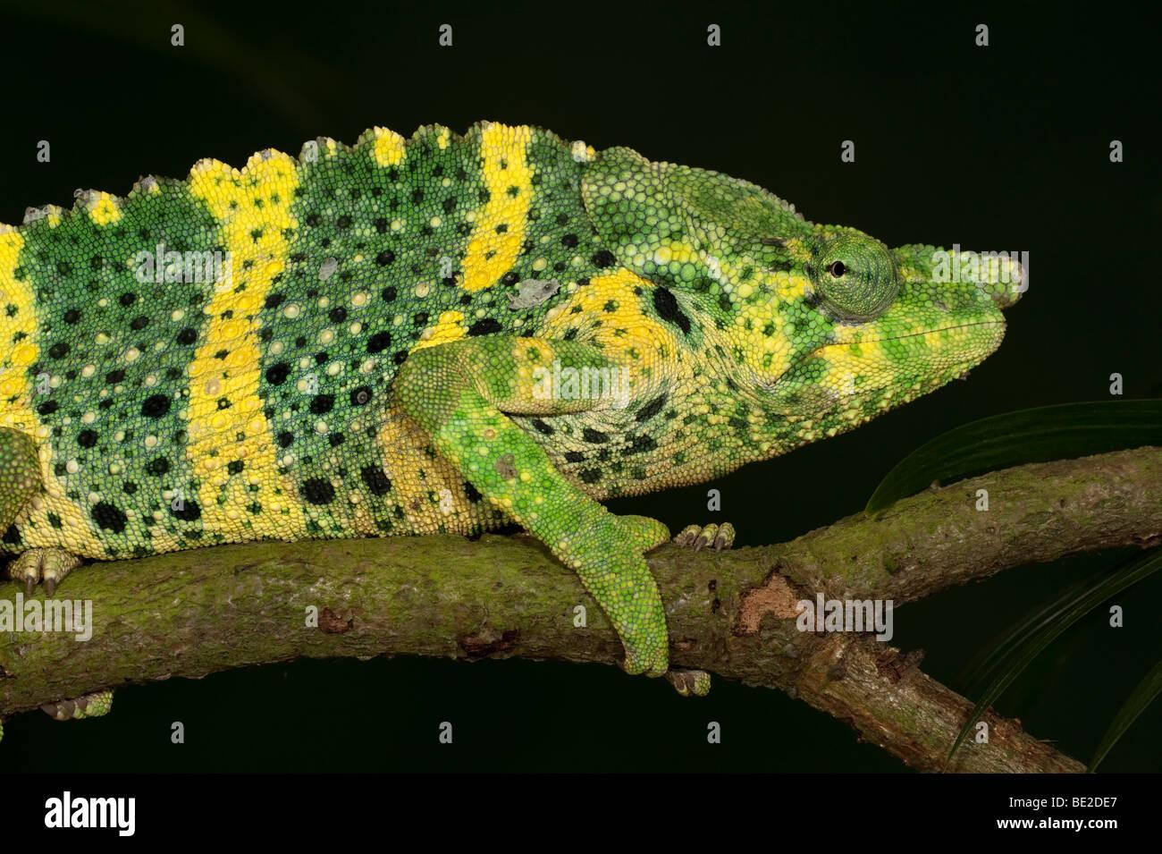 Panther Chamäleon Furcifer Pardalis auf Zweig gelb grün Farben gefangen Haustier Stockbild