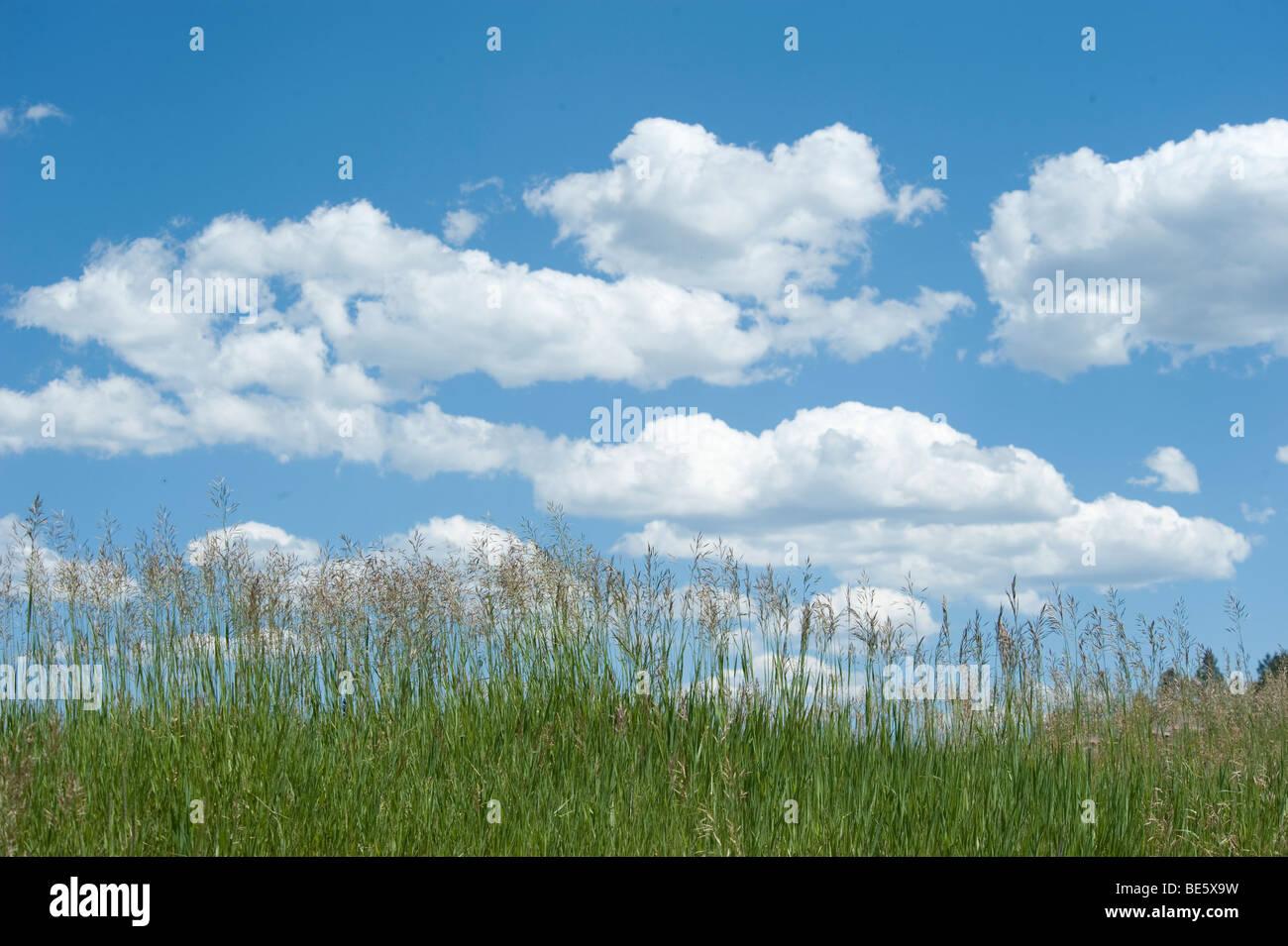 Cumulus-Wolken in klaren blauen Himmel mit Rasen im Vordergrund Stockbild