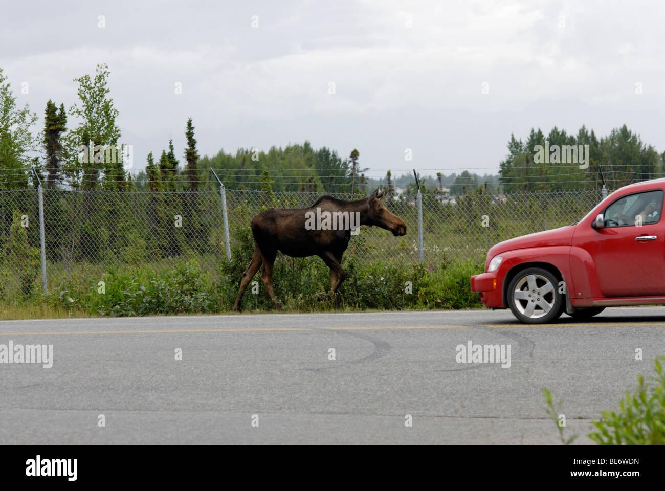 Elch auf Straße, Anchorage, Alaska Stockbild