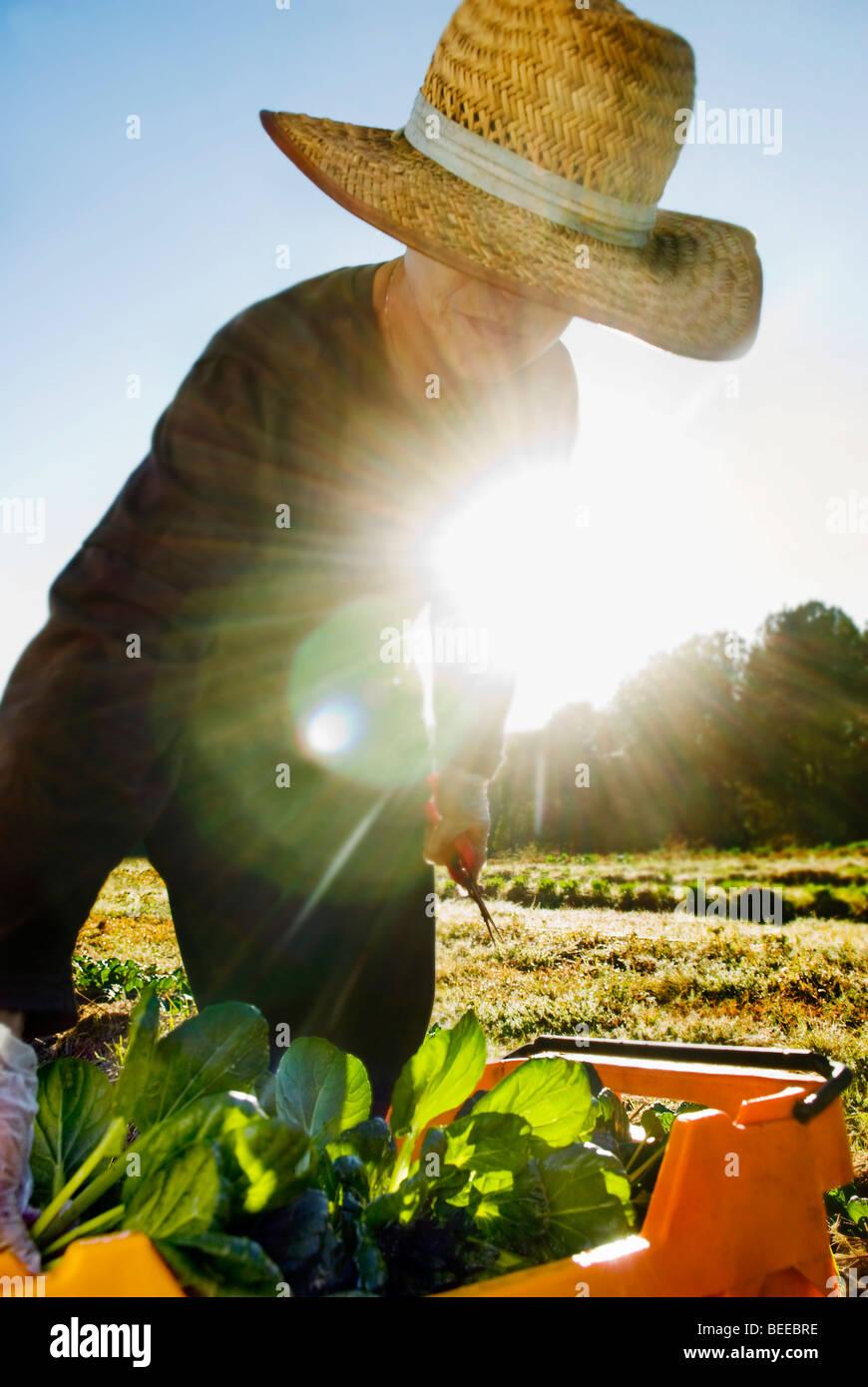Bio Tatsoi Bauernhof - zertifizierte Bio-Produzent Stockfoto