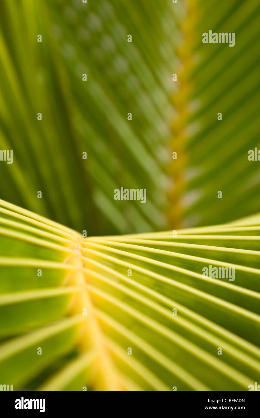 Close-up Muster der Palme Blätter in Guanacaste, Costa Rica. Stockbild