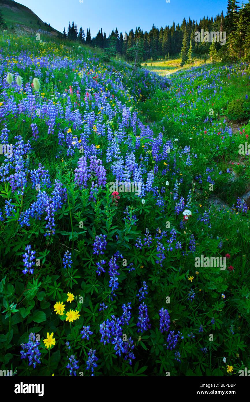 Fülle von Wildblumen am Creek im Mount Rainier National Park im Bundesstaat Washington, USA Stockbild