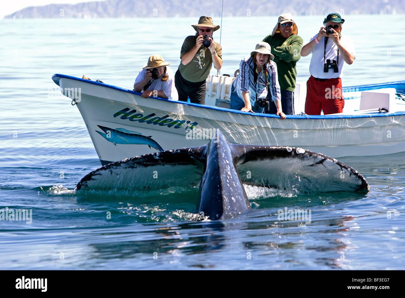 Buckelwal (Impressionen Novaeangliae). Wal-Beobachter Tauchen Wale beobachten. Stockbild