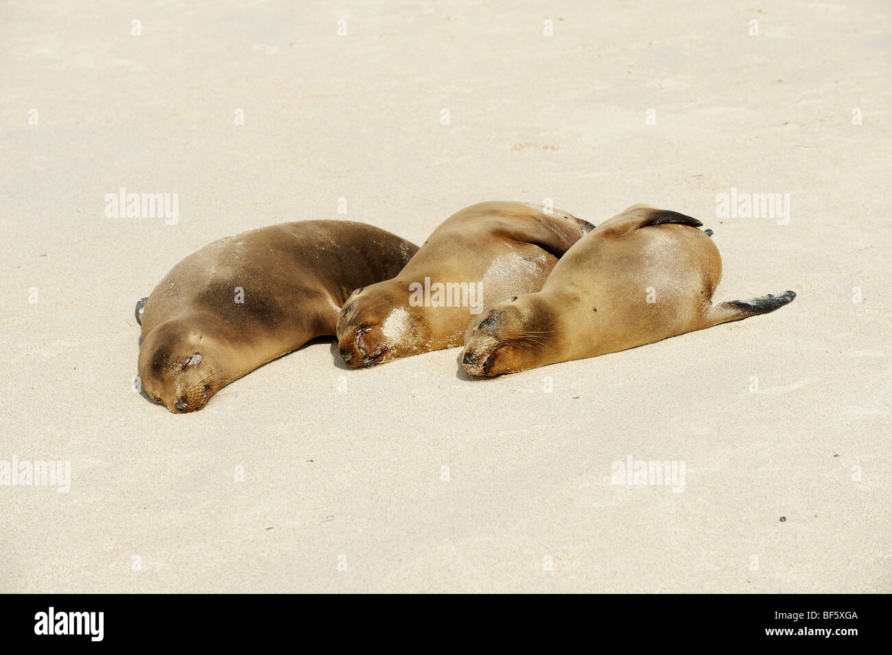 Galapagos-Seelöwe (Zalophus Wollebaeki), Erwachsene am Strand, Espanola Insel, Galapagos, Ecuador, Südamerika Stockbild