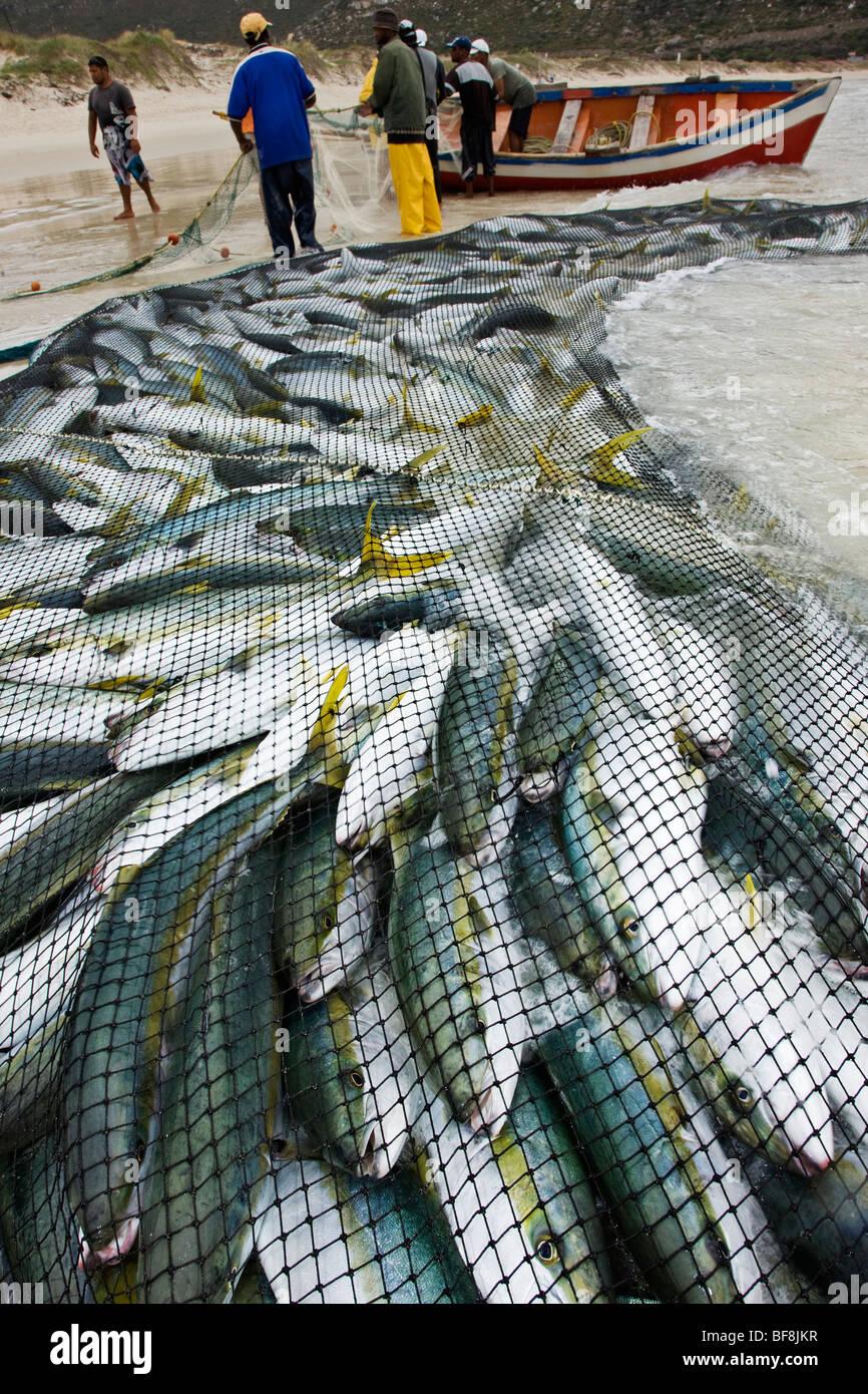 Angeln net voll von Fischen mit Boot in den Hintergrund. Cape Town. Südafrika Stockbild
