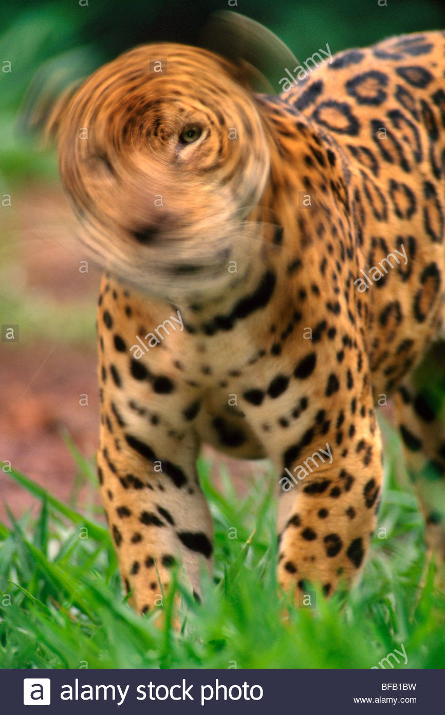 Jaguar, Kopfschütteln, Panthera Onca, Mexiko Stockbild