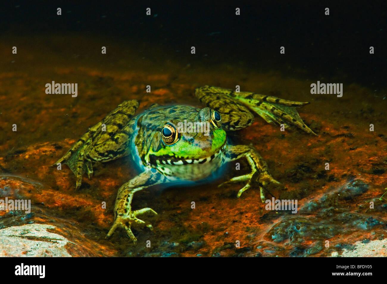 Nahaufnahme des grünen Frosch (Rana Clamitans) am Rand des Teiches, Killarney Provincial Park, Ontario, Kanada Stockbild