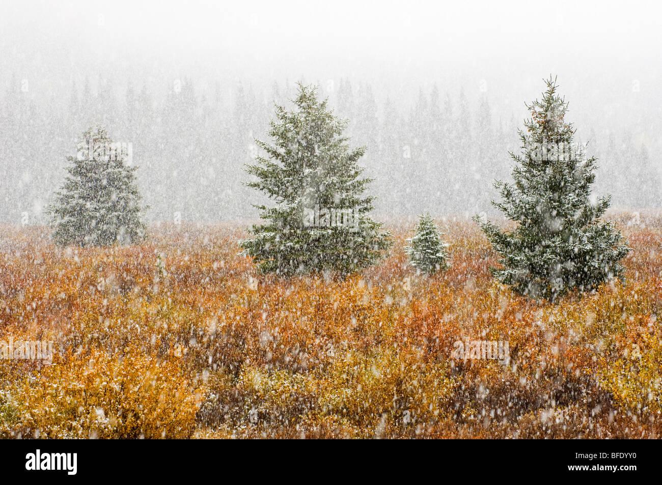 Schneefall auf Wiese in herbstlichen Farben, Banff Nationalpark, Alberta, Kanada Stockbild