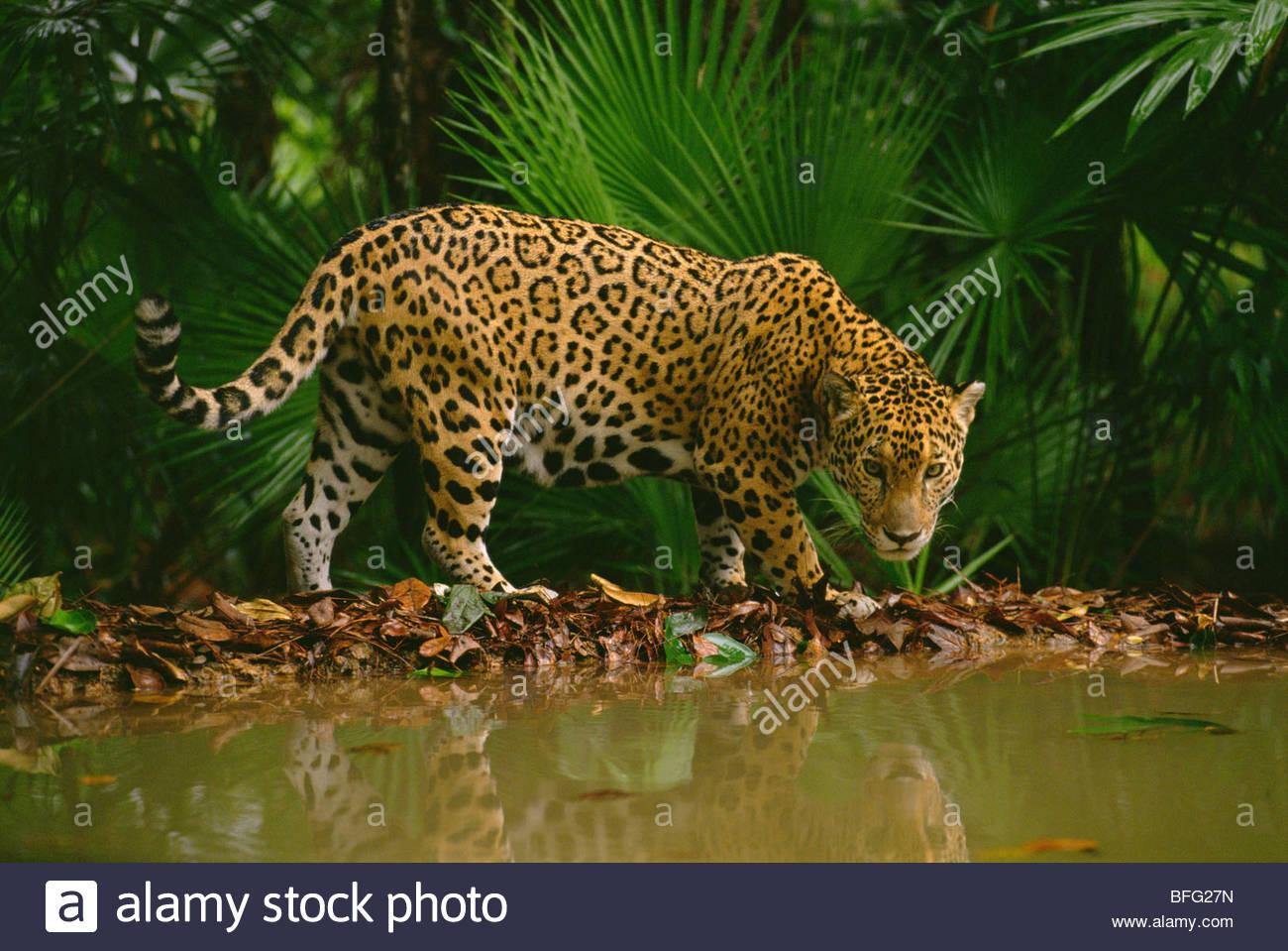 Jaguar am Wasserloch, Panthera Onca, Belize Stockbild