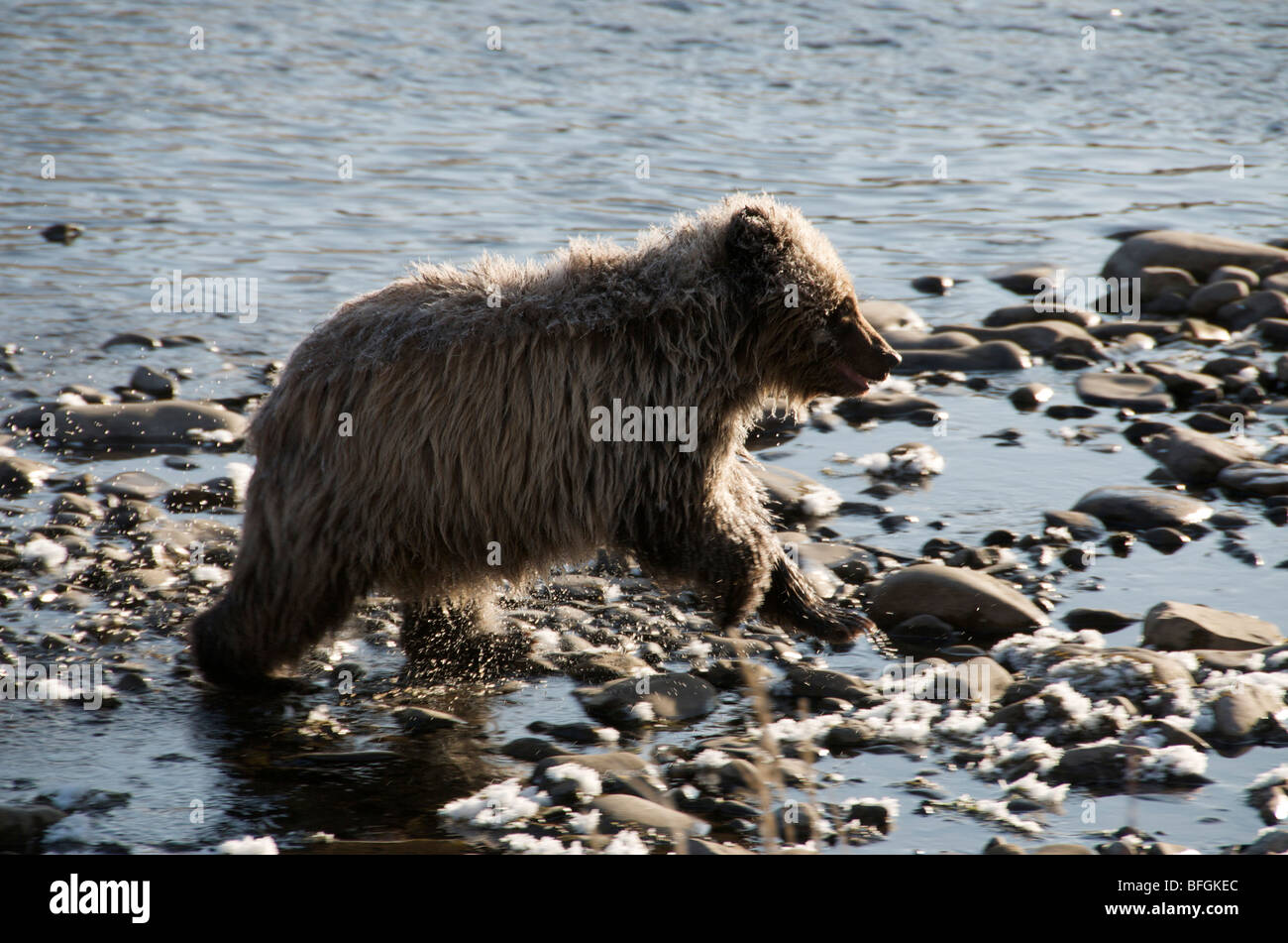 Grizzly Bear 1. Jahr Cub (Ursus Arctos). Fishing Branch River, Ni'iinlii Njik ökologische Reserve, Yukon Stockbild