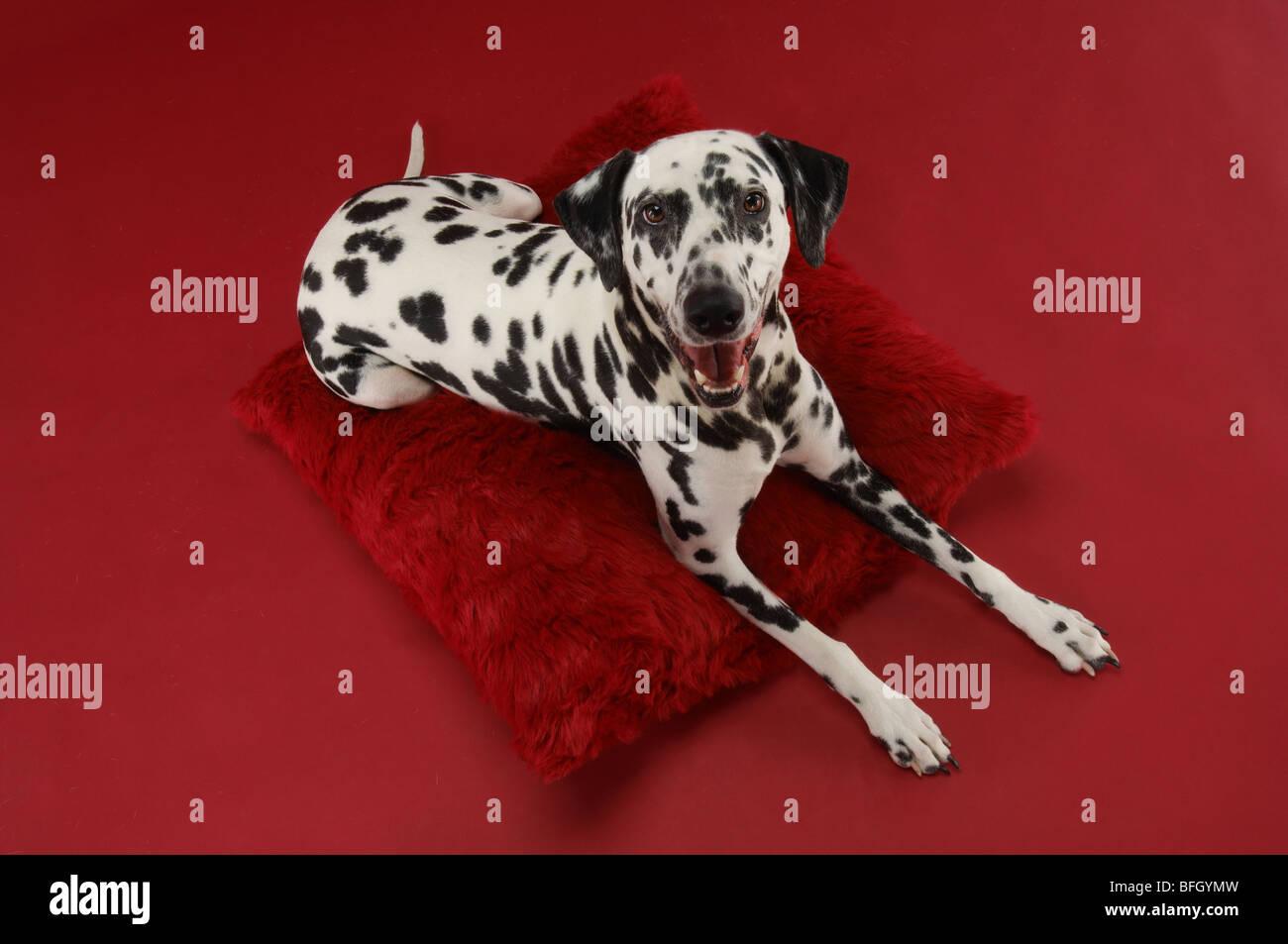 Dalmatiner auf Kissen Stockbild