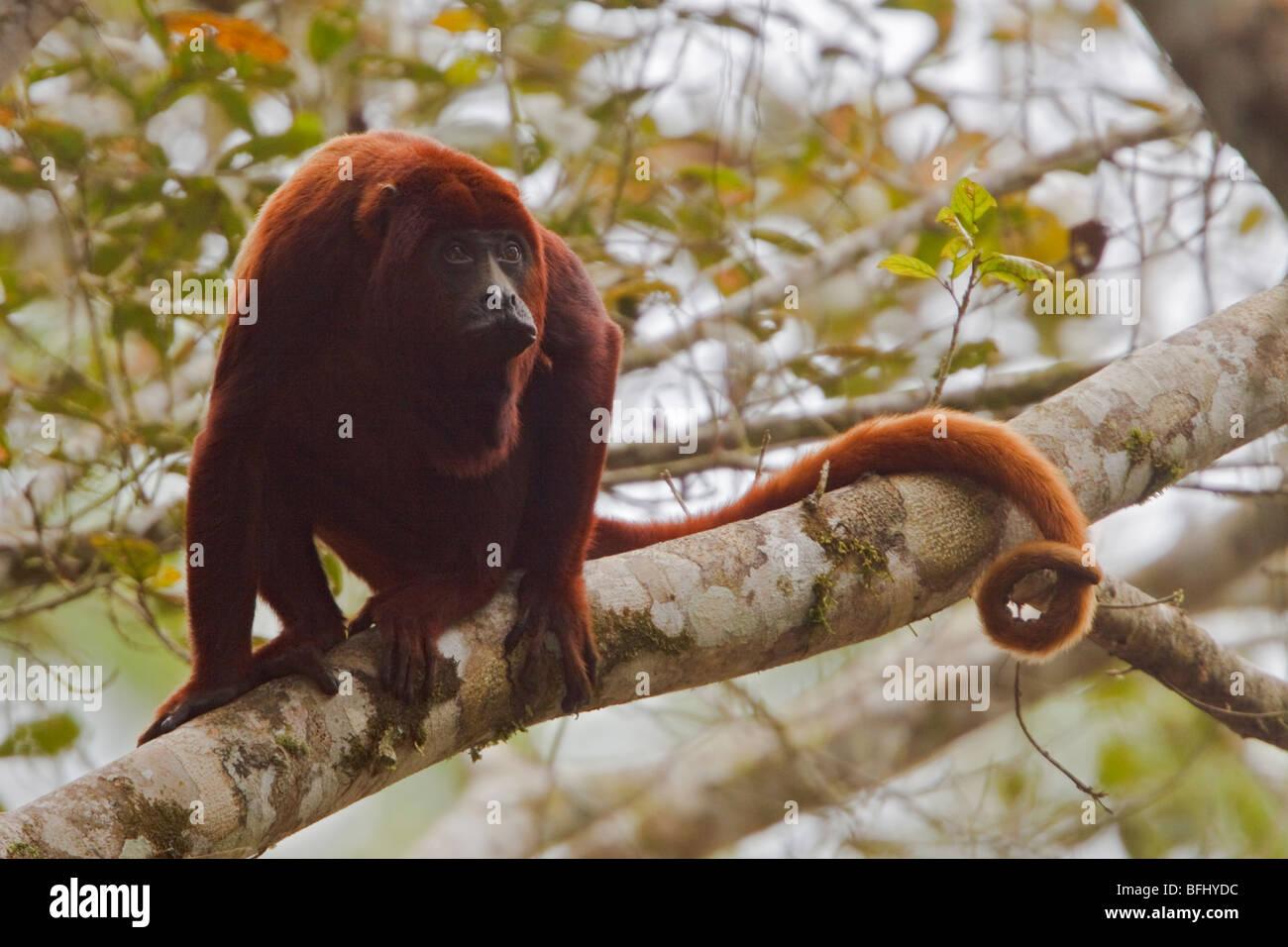 Ein Affe saß auf einem Baum im Amazonas Ecuadors. Stockbild