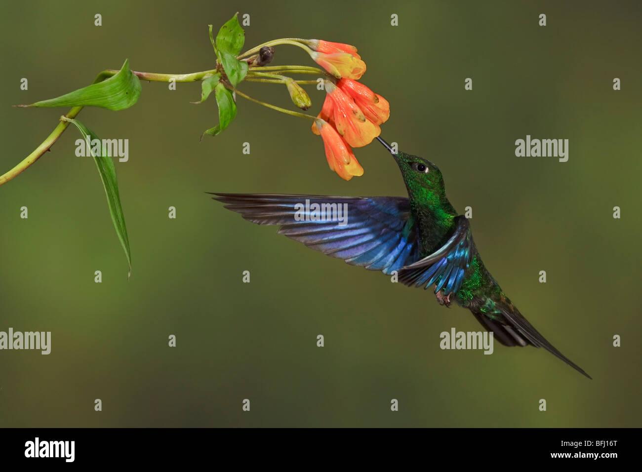 Große Saphirewing (Pterophanes Cyanopterus) fliegen und Fütterung eine Blume an der Yanacocha behalten Stockbild
