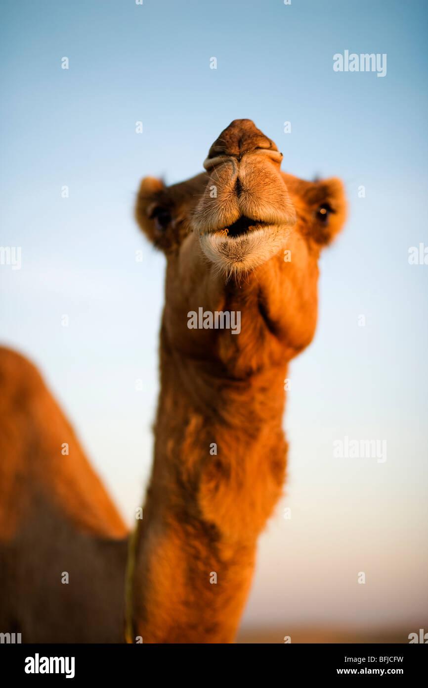 Ein Kamel in der Wüste, Oman. Stockbild