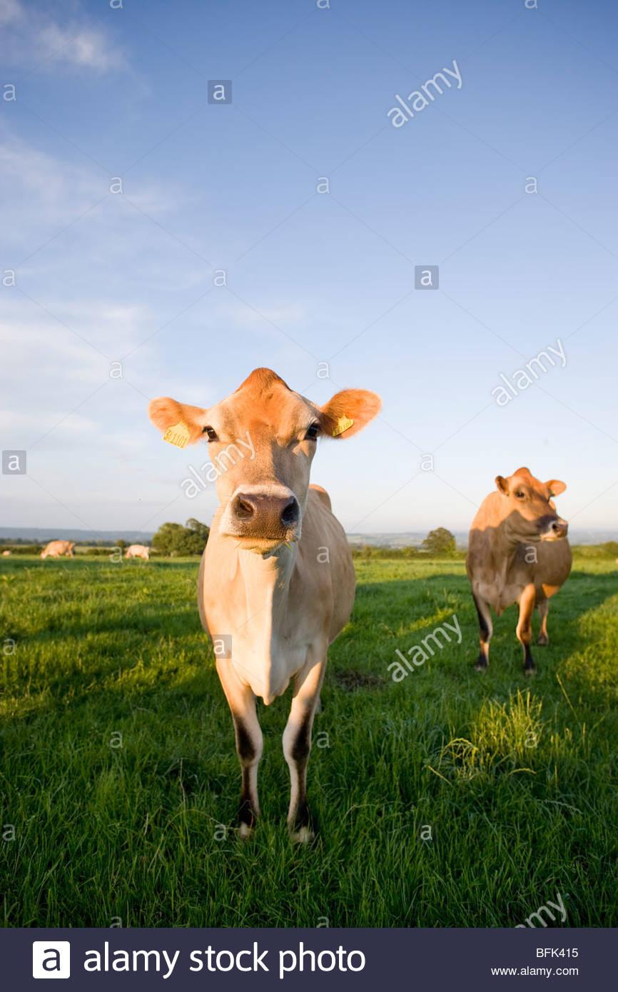 Jersey Kühe im ländlichen Bereich Stockbild