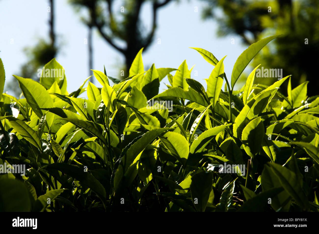 Teeblätter, hautnah bei Tageslicht, Munnar Stockbild
