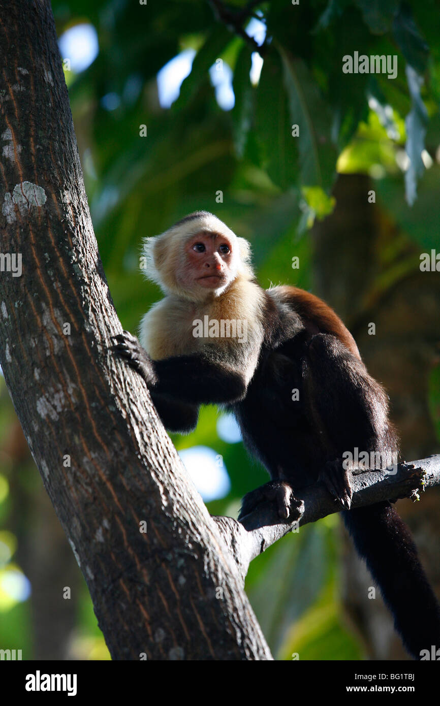 monkey stockfotos monkey bilder alamy. Black Bedroom Furniture Sets. Home Design Ideas