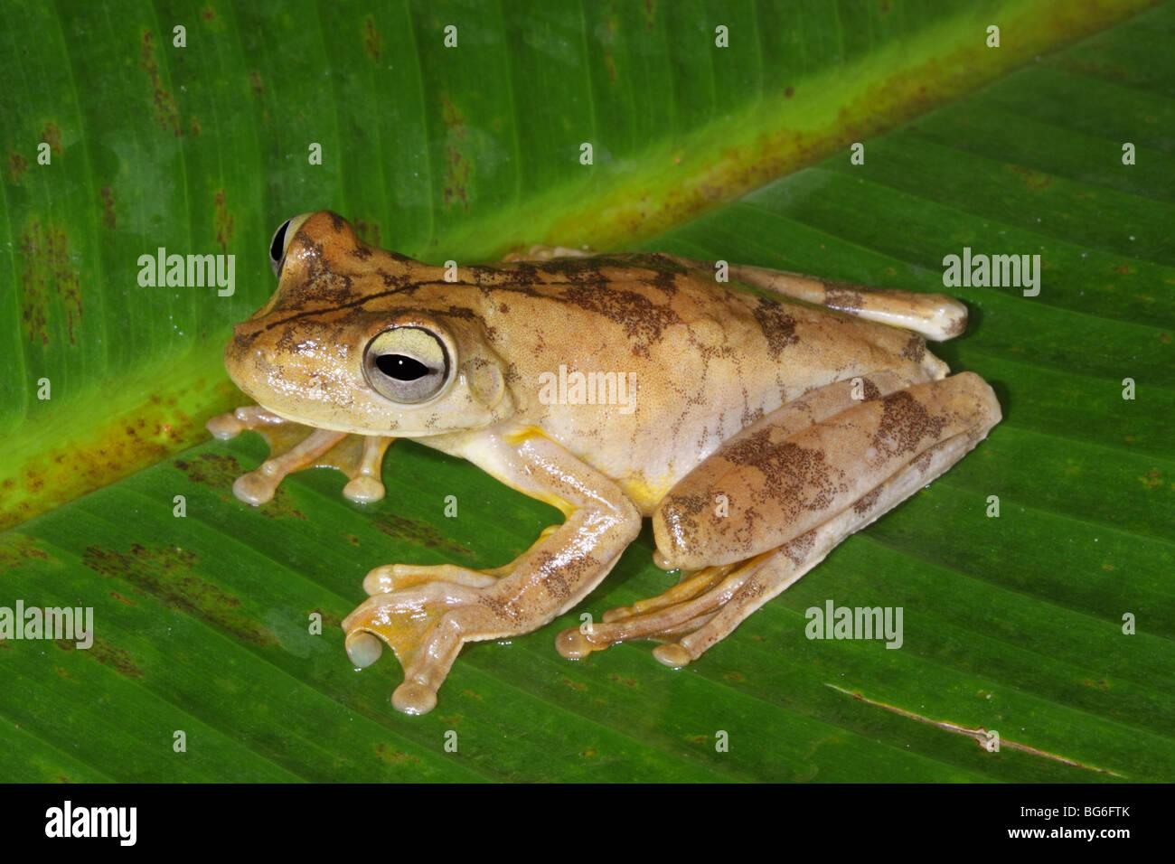 Gladiator Frog Tag Farben Stockbild