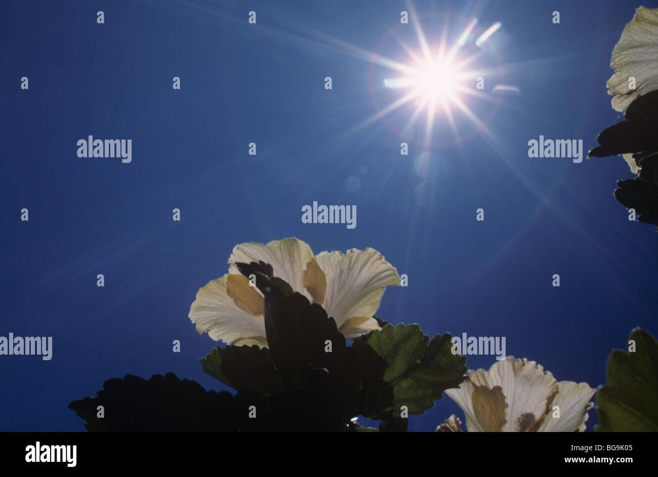 Hibiskusblüte gegen die Sonne, Südafrika Stockbild