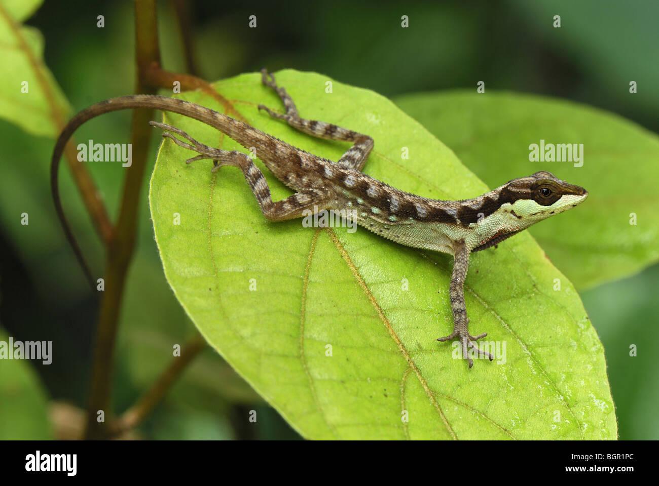 Anole Eidechse (Anolis Notopholis), Erwachsene auf Blatt, San Cipriano Reserve, Cauca, Kolumbien Stockbild