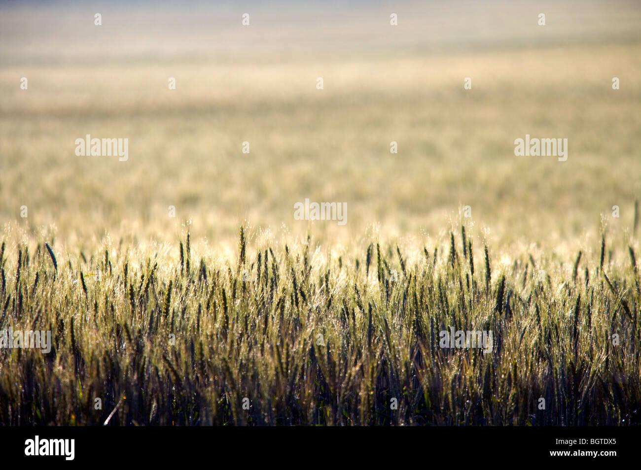 Kreative Ansicht von Weizen Feld, Overberg, Western Cape, Südafrika Stockbild