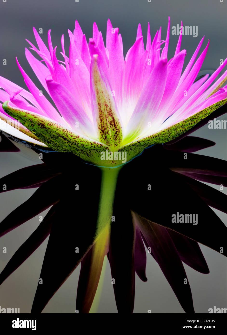 Lila tropischen Seerose und Reflexion. Hughes Wassergärten, Oregon Stockbild