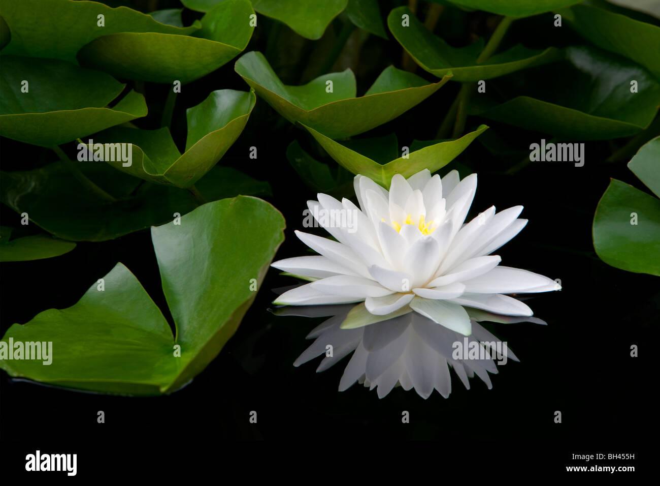 Weiße Seerose und Reflexion. Hughes Wassergärten. Oregon Stockbild