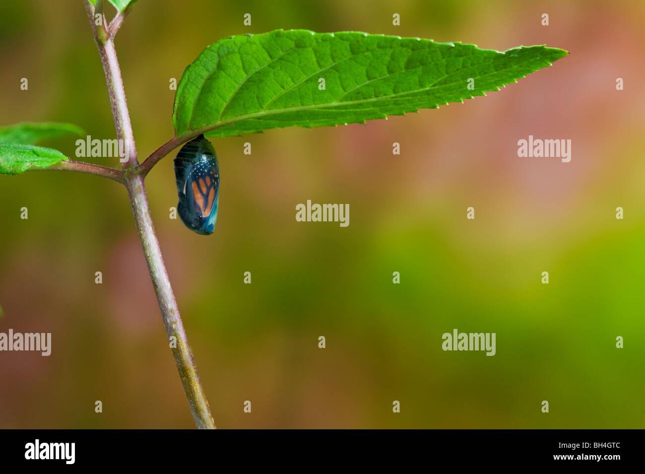 Monarch-Schmetterling Chrysalis, transparent, Ende des Puppenstadium, ausgewachsenen Schmetterling auftauchen, Nova Stockbild
