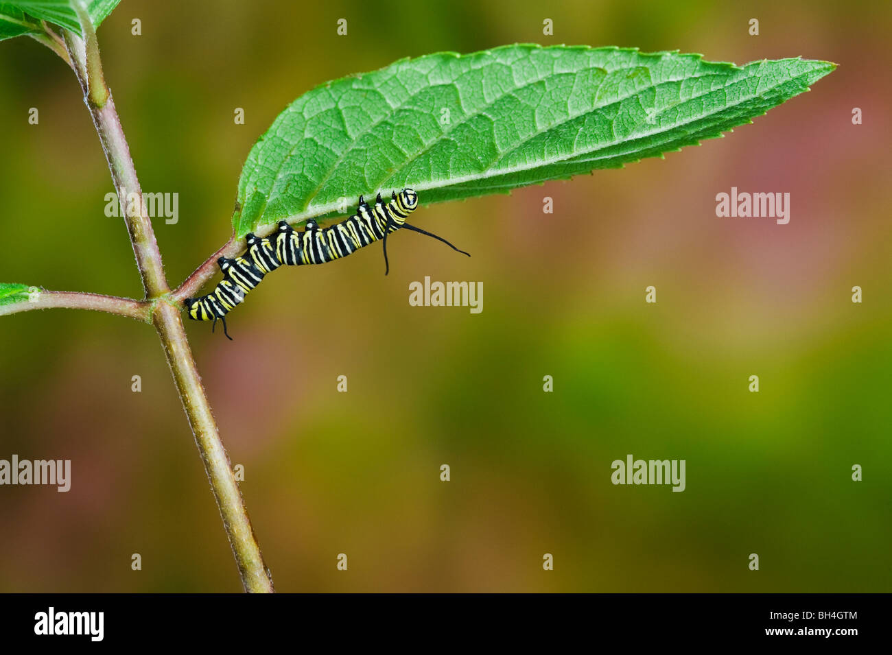 Monarch-Schmetterling Raupe auf Blatt, Vorbereitung für die Transformation von Larve, Puppe, Nova Scotia. Serie Stockbild