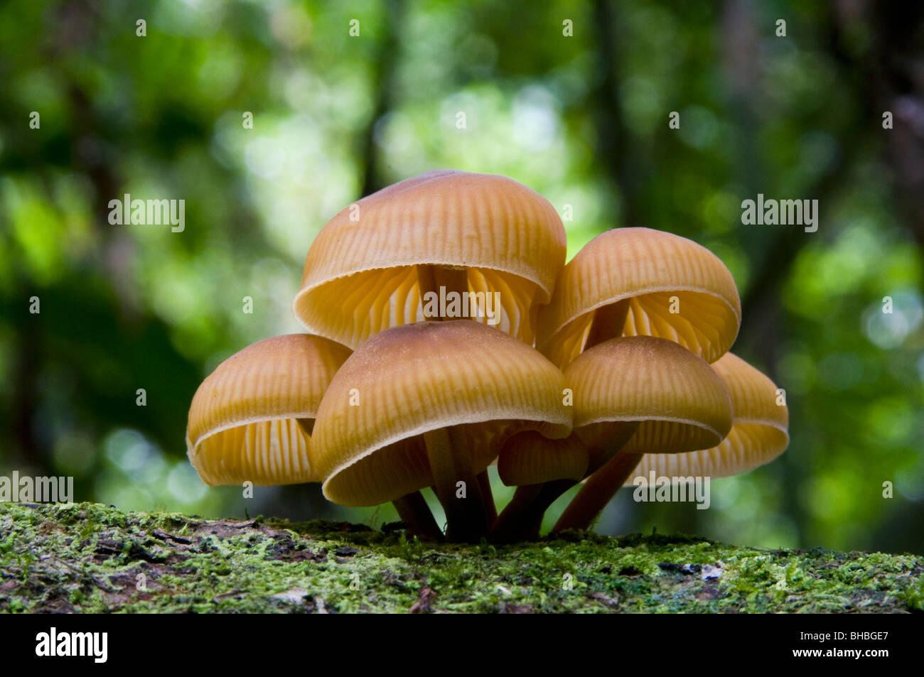Pilze auf gefallenen Regenwald Log, Camp 1, Marojejy Nationalparks, Madagaskar Stockbild