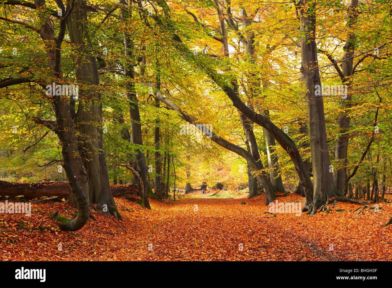 Herbstfarben im Ashridge Estate Stockbild