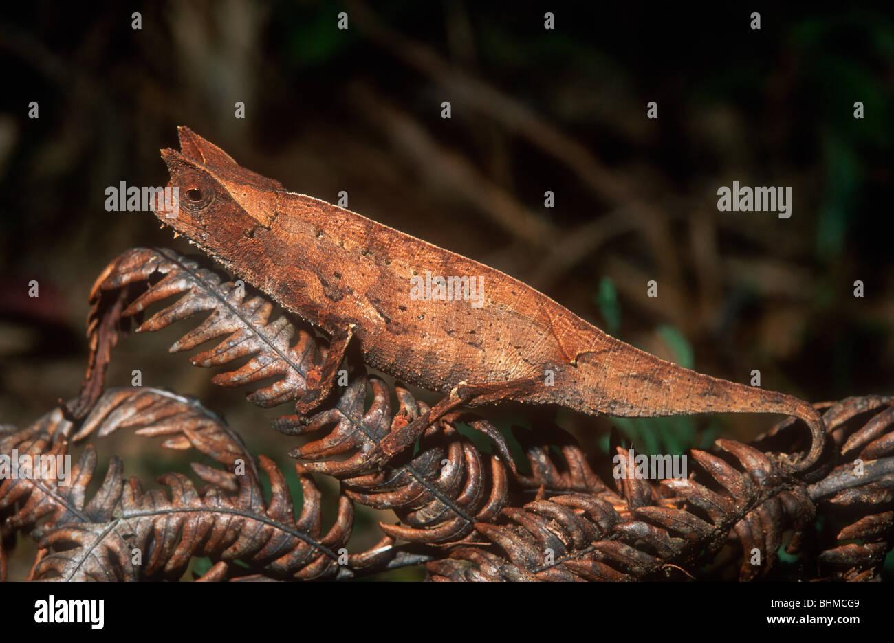 Zwerg Chamäleon, Brookesia Superciliaris, Madagaskar Stockbild