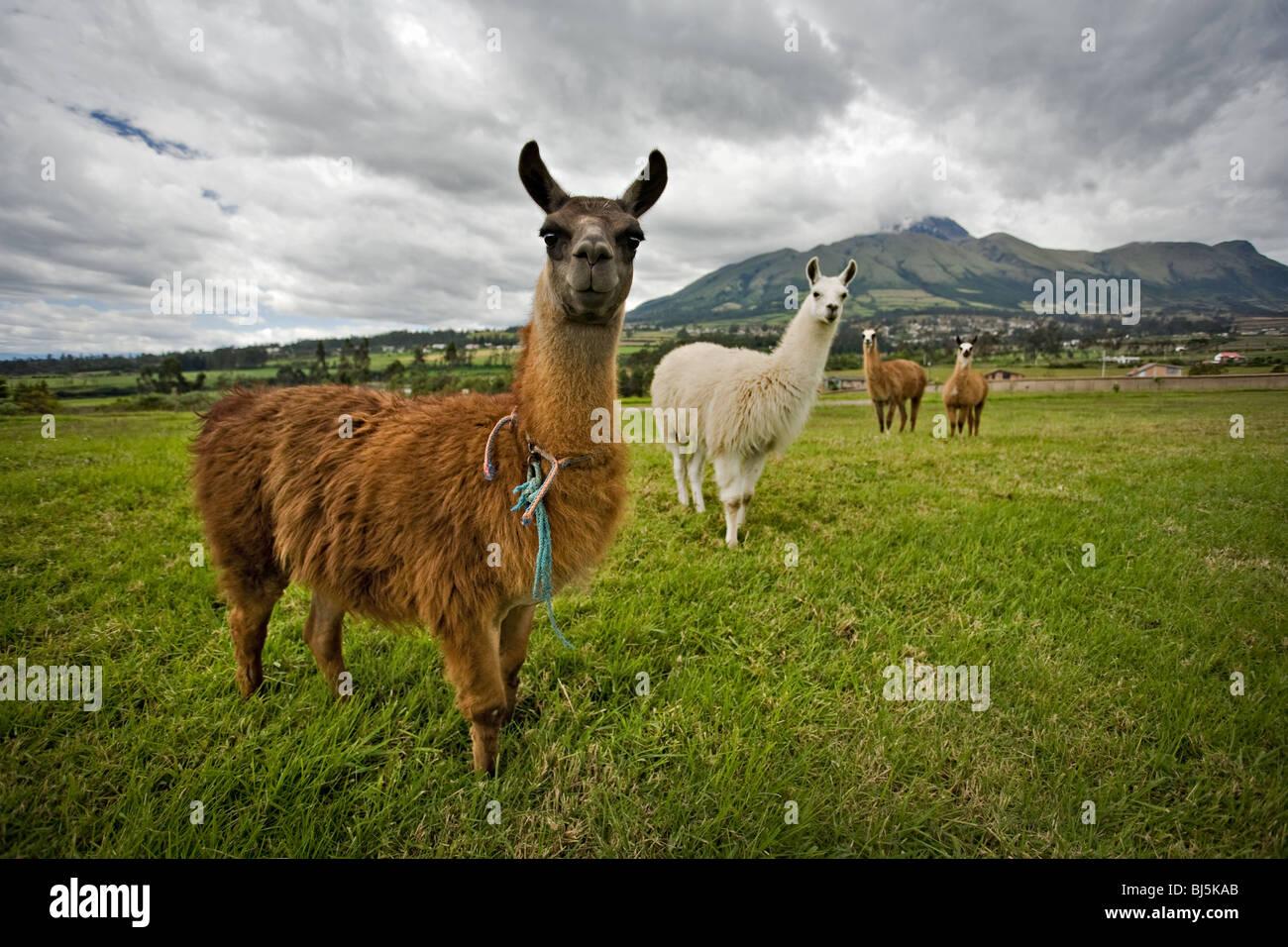Neugierig Lamas in der Landschaft von Ecuador, Südamerika Stockbild