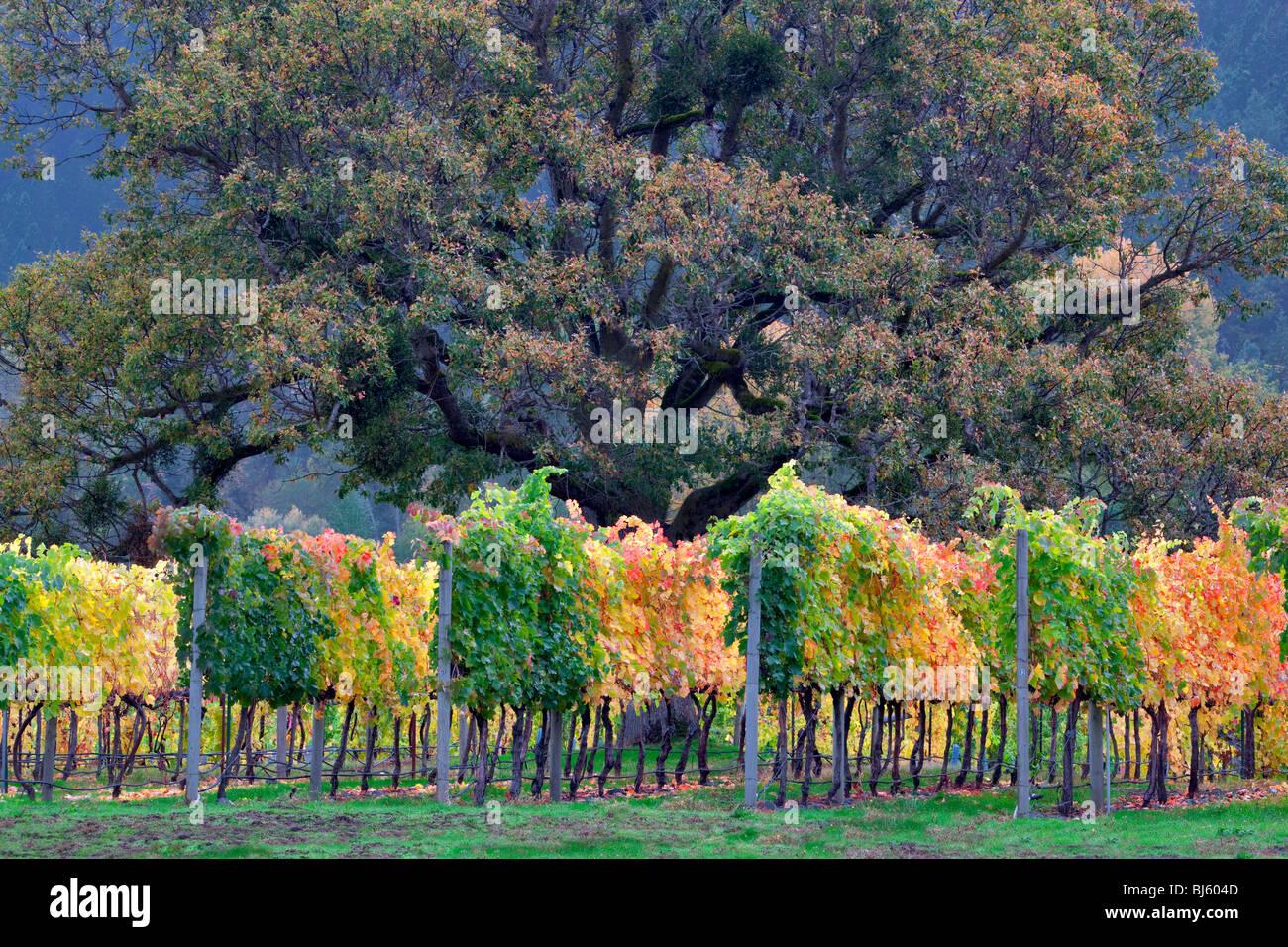 Weinberg und Eiche Baum in Herbstfarben. In der Nähe von Applegate, Oregon Stockbild