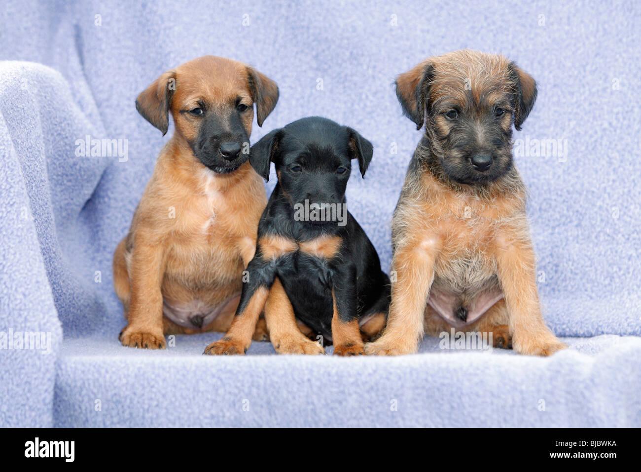 westfalia westfalen terrier puppy in stockfotos westfalia westfalen terrier puppy in bilder. Black Bedroom Furniture Sets. Home Design Ideas