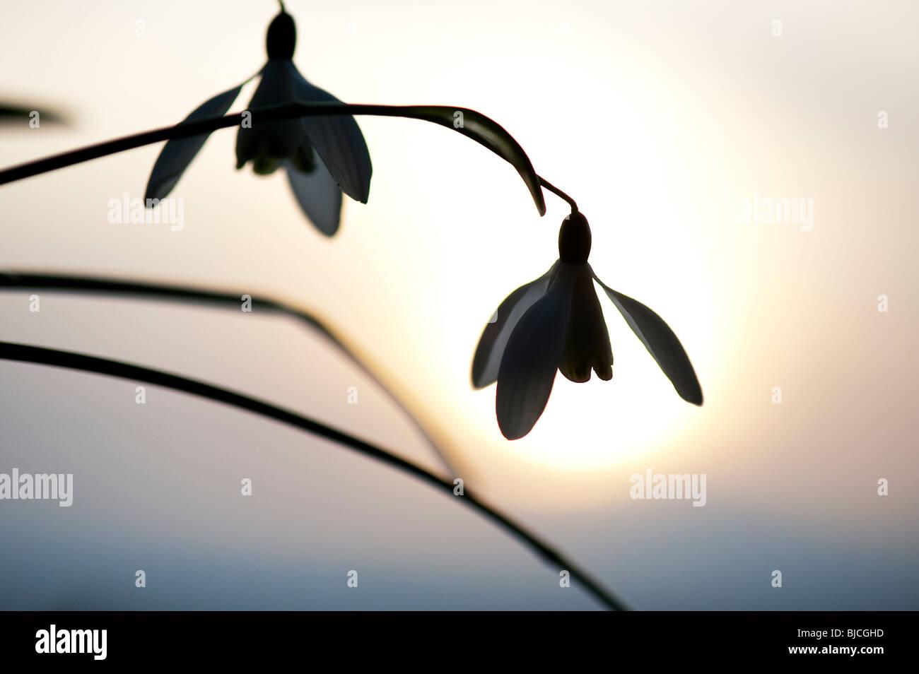 Schneeglöckchen Blüte Silhouette gegen eine winterliche Sonne. de Stockbild