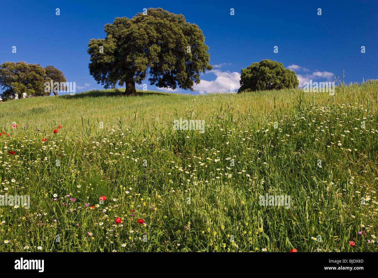 Wilde Blumen im Feld, Frühling, nr Olvera, Andalusien, Spanien Stockbild
