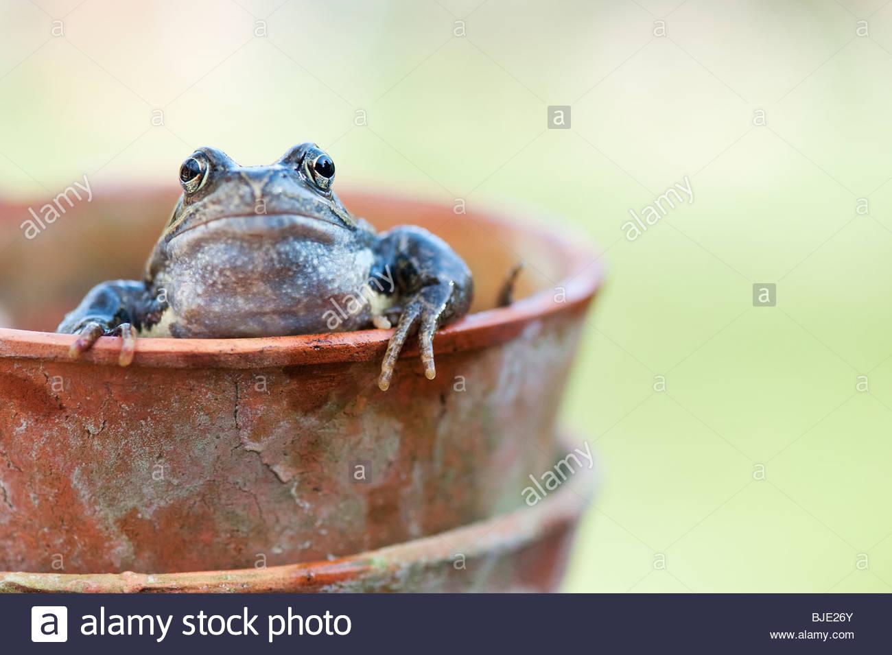 frog legs stockfotos frog legs bilder alamy. Black Bedroom Furniture Sets. Home Design Ideas