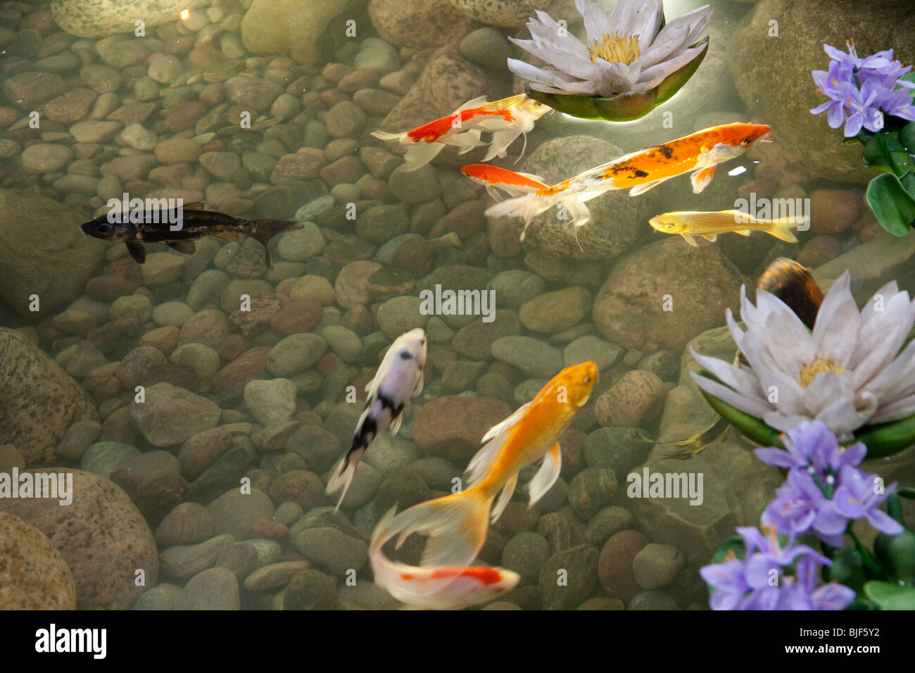 Pond fish rock stockfotos pond fish rock bilder alamy for Japanische teichfische
