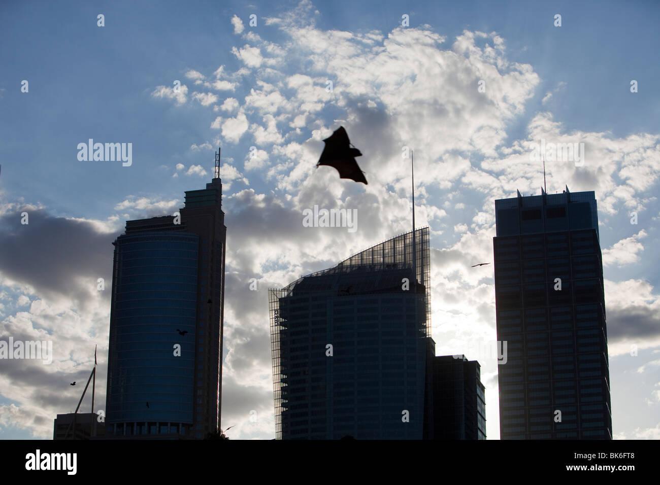 Flughunde fliegen vor Sydney City Center Hochhäusern, Australien. Stockfoto
