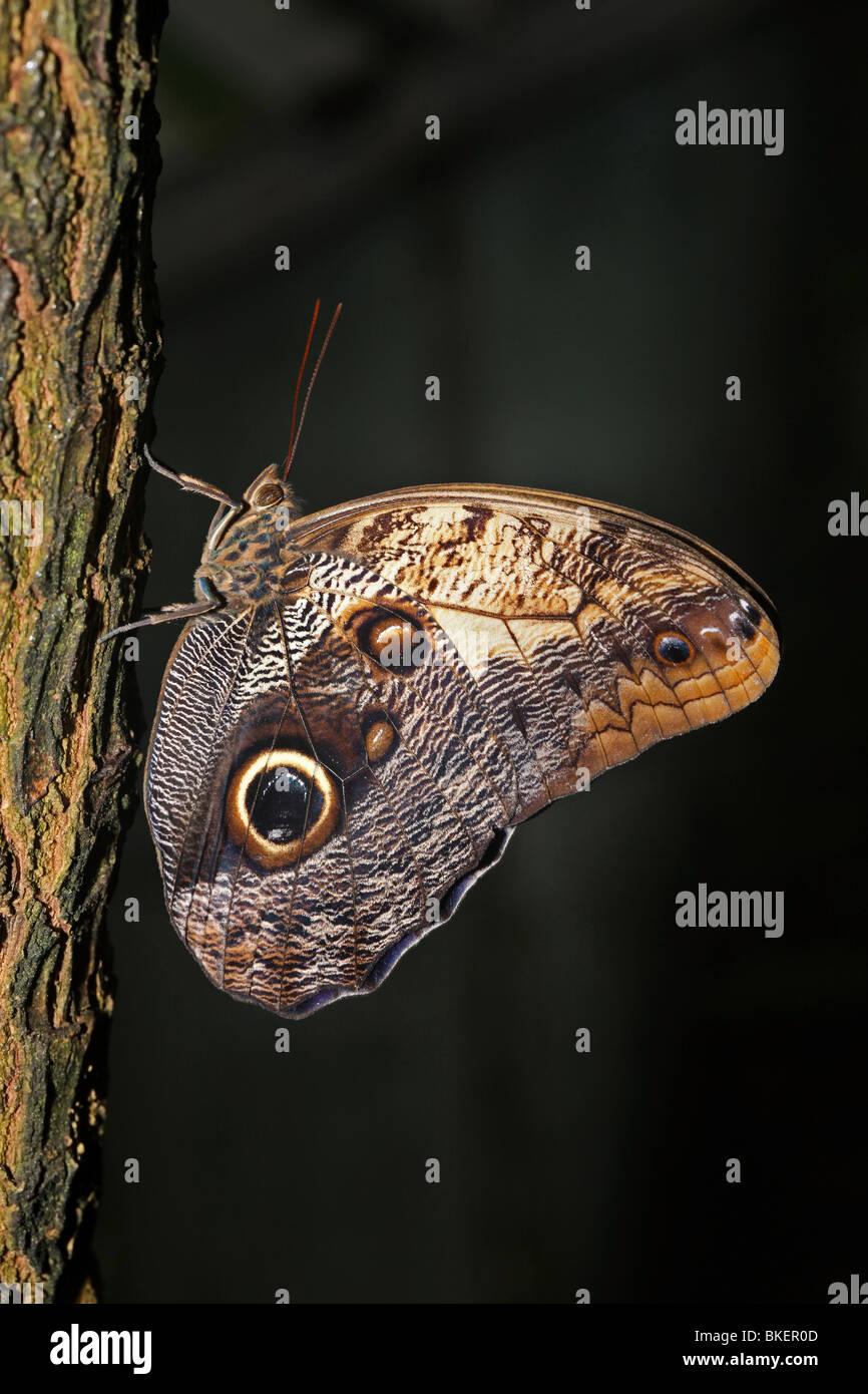 Eule Schmetterling. Stockbild