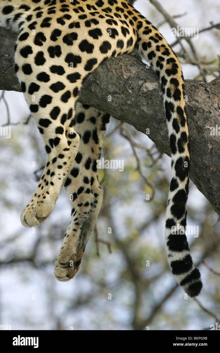Afrikanischer Leopard, Südafrika Stockbild