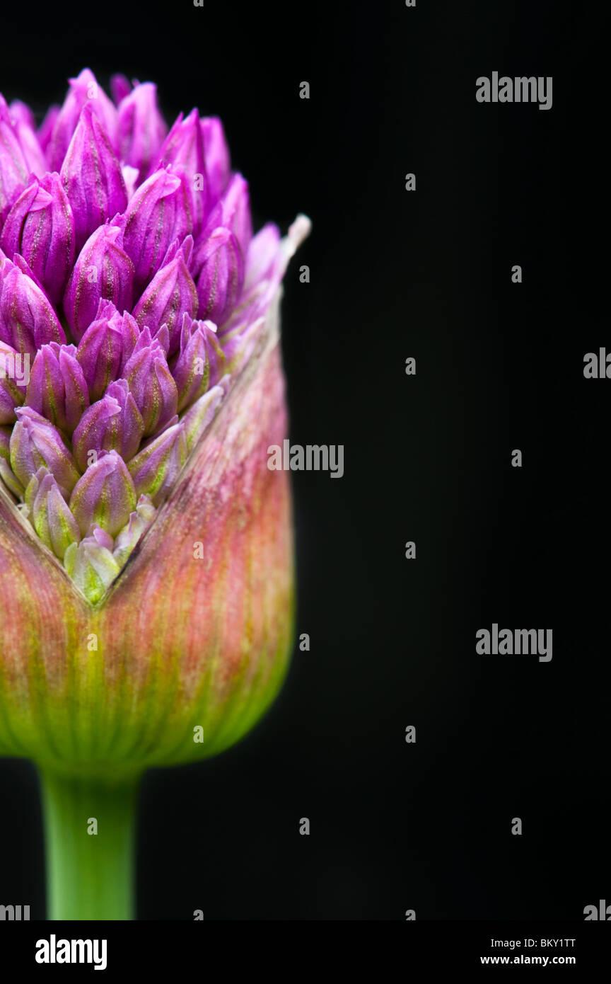 Allium 'Purple Sensation' Hollandicum. Ornamentale Zwiebel Blume aus Knospe vor schwarzem Hintergrund Stockbild