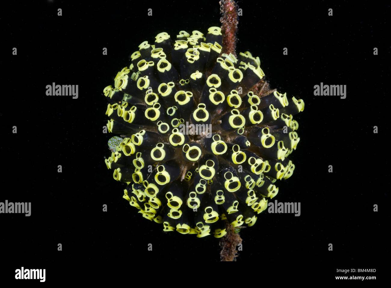 Kolonie von Manteltieren, Clavelina Robusta, Lembeh Strait, Nord-Sulawesi, Indonesien Stockfoto