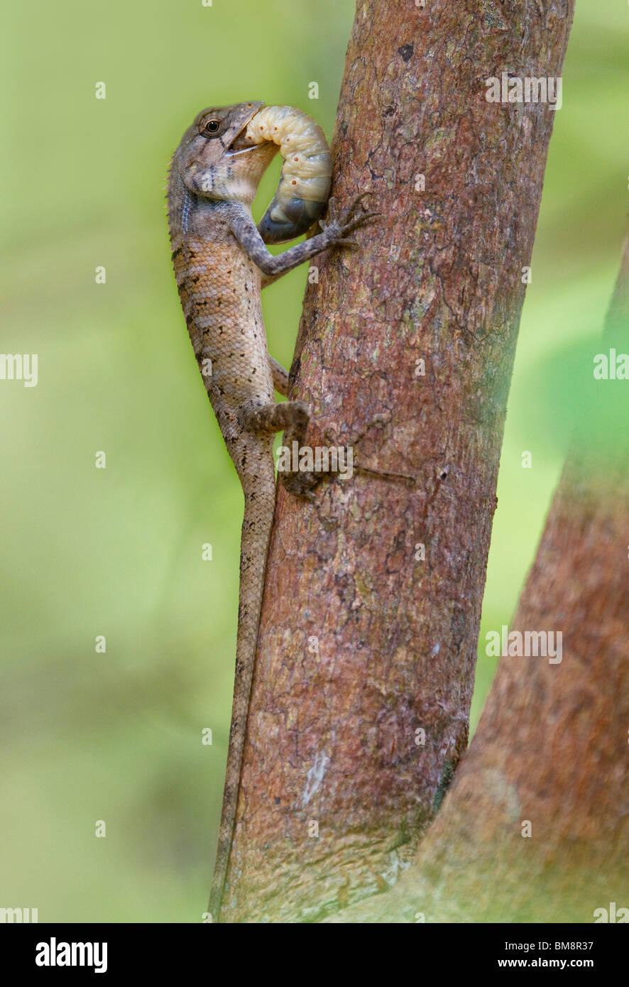 Garten-Eidechse (Calotes versicolor) ernähren sich von großen Insektenlarven, Ko Ra, Süd-Thailand. Stockbild