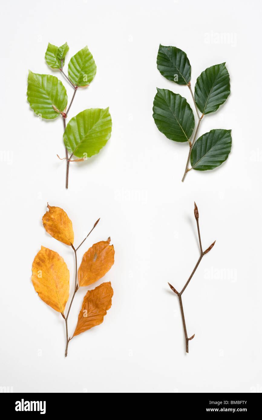 Buche-Zweige im Frühjahr, Sommer, Herbst und Winter. Fagus Sylvatica. Digital Composite. VEREINIGTES KÖNIGREICH. Stockbild
