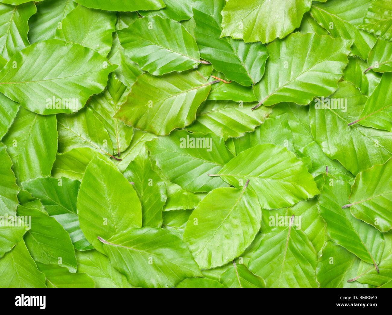 Blätter der Buche, Fagus Sylvatica. Stockfoto