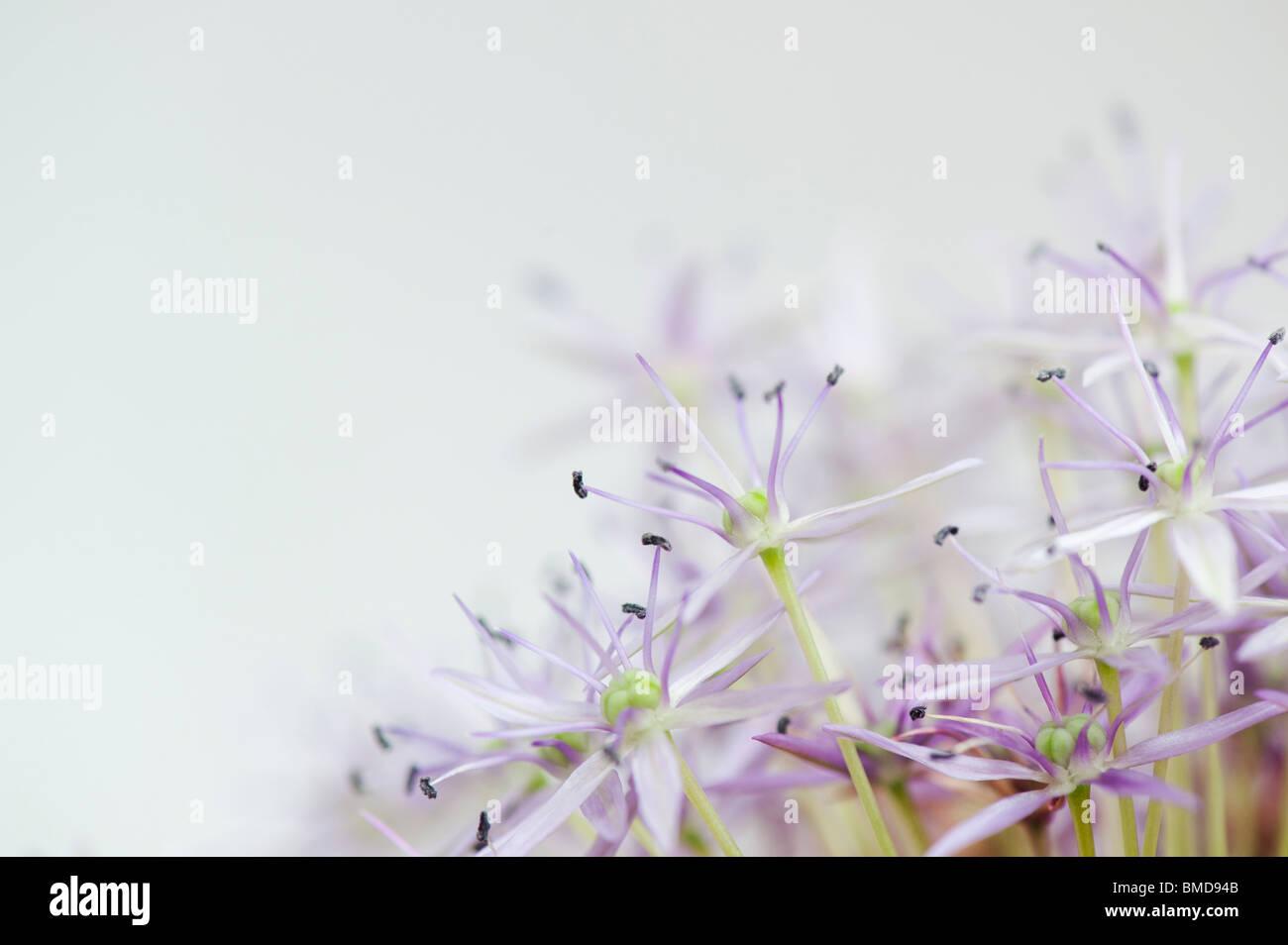 Allium 'Globemaster' Blumen auf weißem Hintergrund verblassen Stockbild