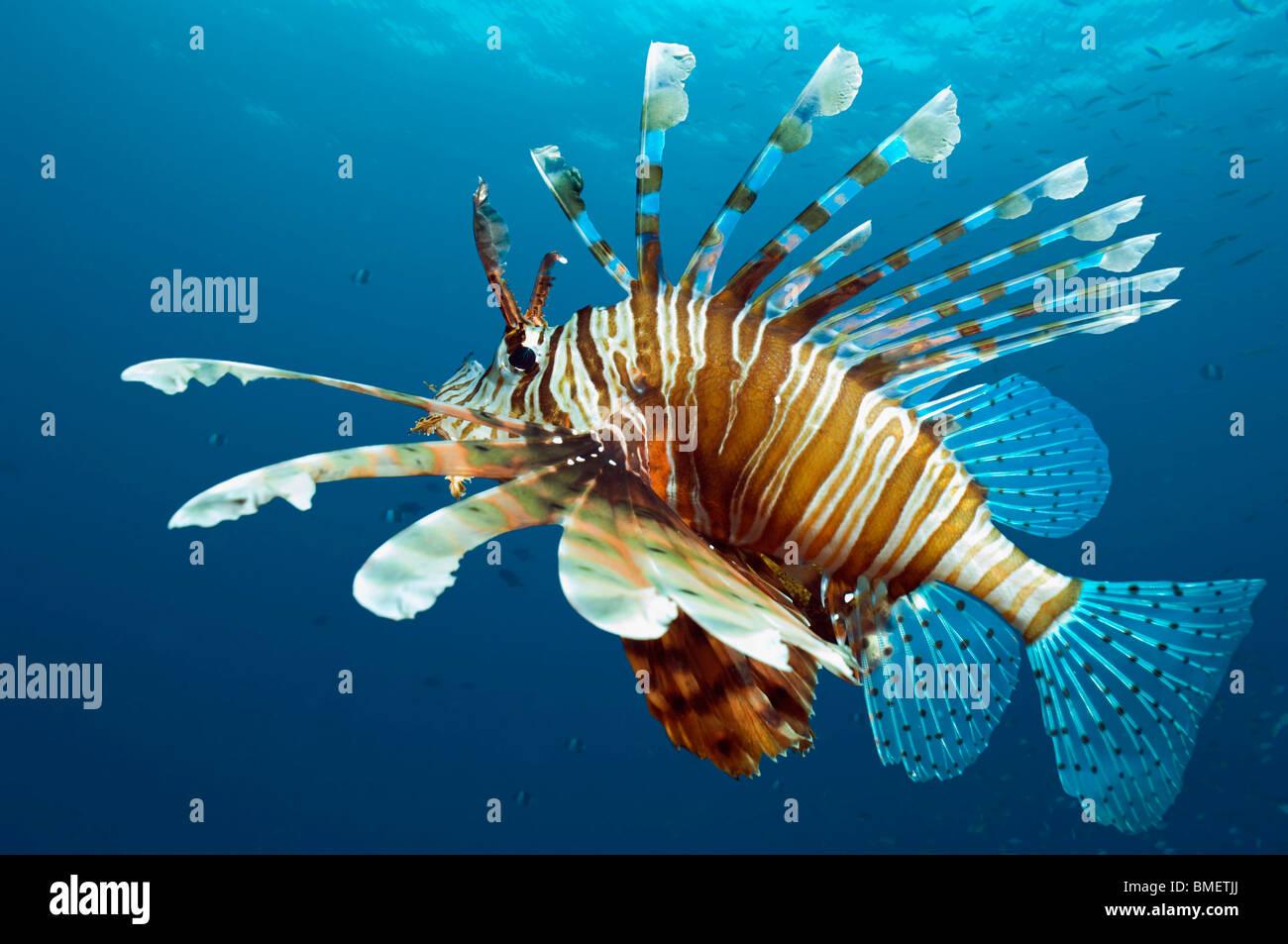 Feuerfische.  Ägypten, Rotes Meer. Stockfoto